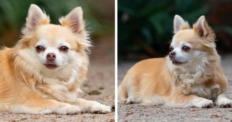 Chihuahua De Pelo Largo