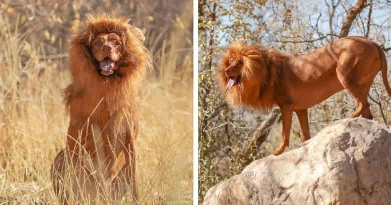 Perro con una peluca de león