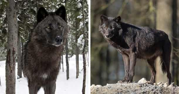 Alaskan Noble Companion Dog