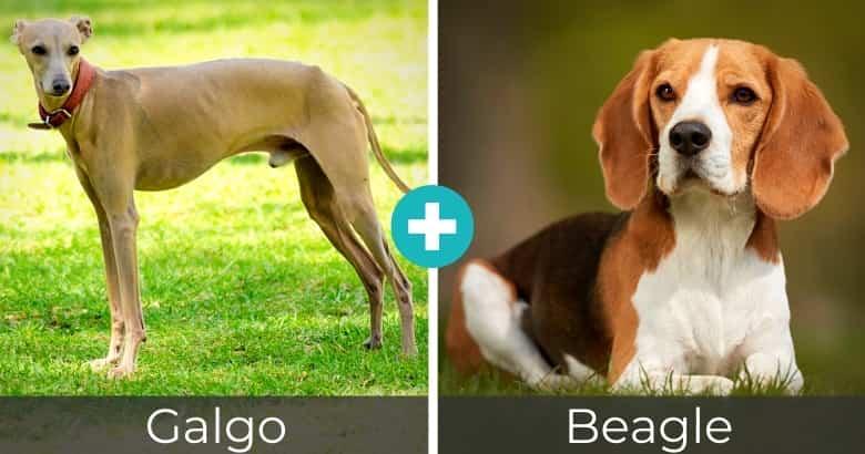 Raza Mixta de Galgo y Beagle