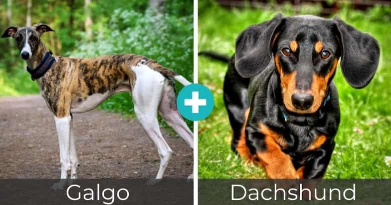 Raza Mixta de Galgo y Dachshund