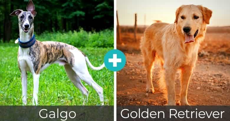 Raza Mixta de Galgo y Golden Retriever