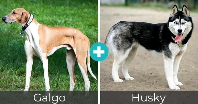 Raza Mixta de Galgo y Husky