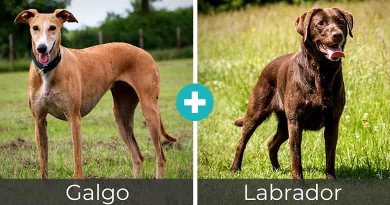 Raza Mixta de Galgo y Labrador