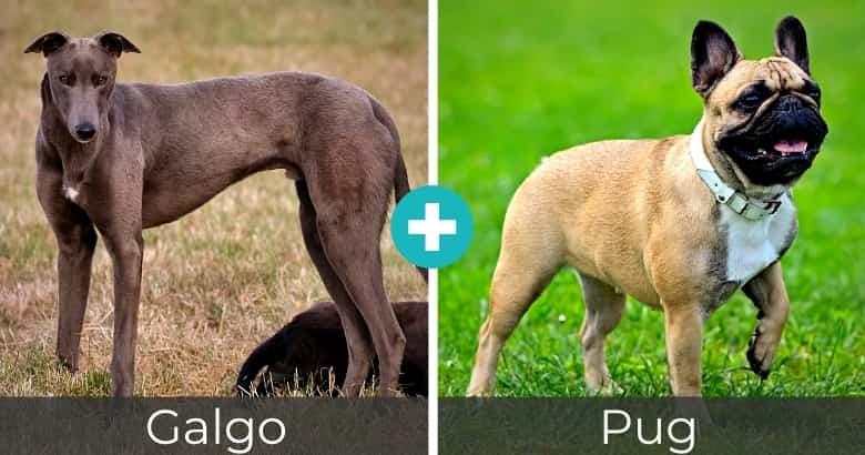 Raza Mixta de Galgo y Pug