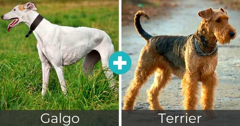 Raza Mixta de Galgo y Terrier