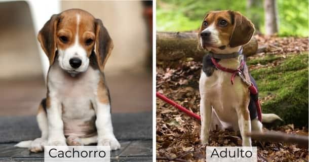 Beagle cachorro y adulto