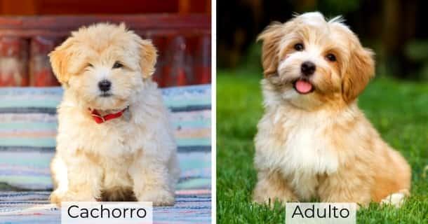 Bichón Habanero cachorro y adulto