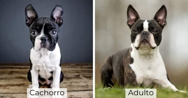 Boston Terrier cachorro y adulto