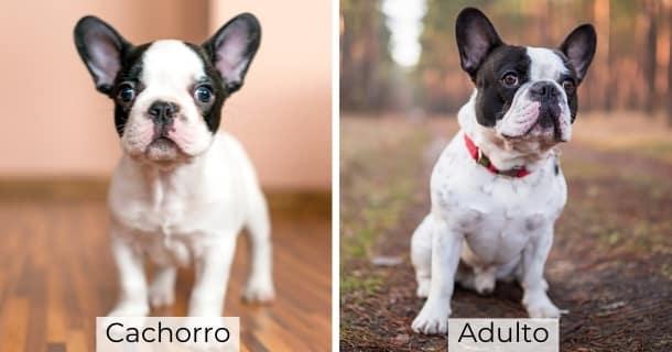 Bulldog Francés cachorro y adulto
