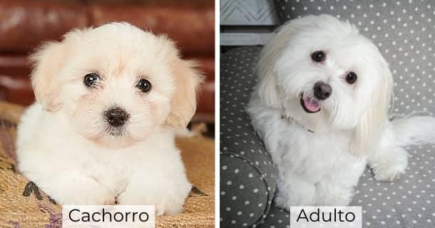 Cotón De Tulear cachorro y adulto