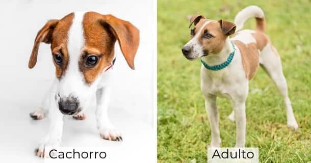 Jack Russel Terrier cachorro y adulto