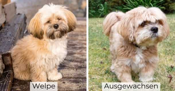 Lhasa Apso cachorro y adulto