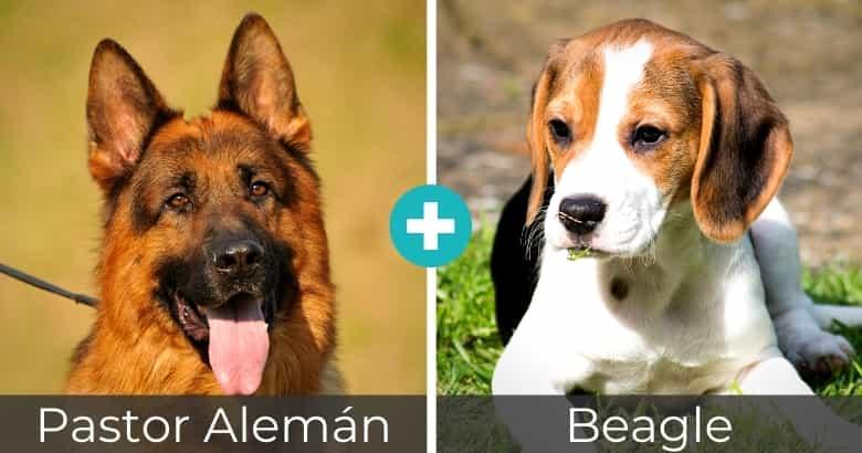 Mezcla de Pastor Alemán y Beagle