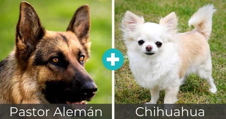 Mezcla de Pastor Alemán y Chihuahua