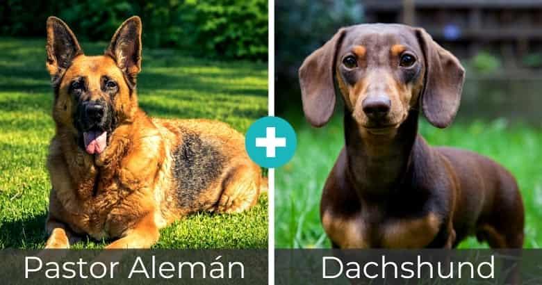 Mezcla de Pastor Alemán y Dachshund