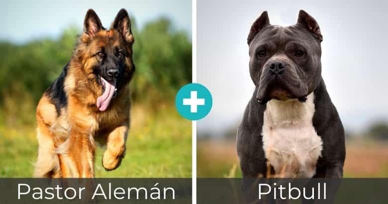 Mezcla de Pastor Alemán y Pitbull