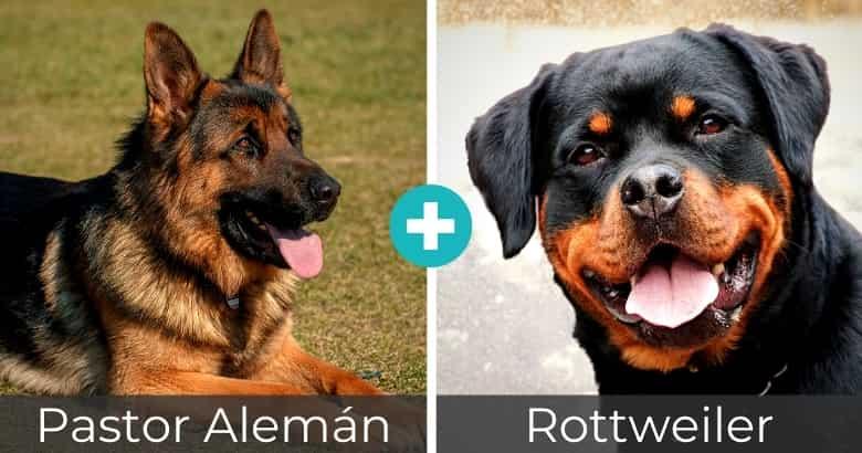 Mezcla de Pastor Alemán y Rottweiler