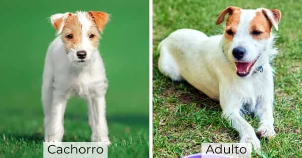 Parson Russell Terrier cachorro y adulto