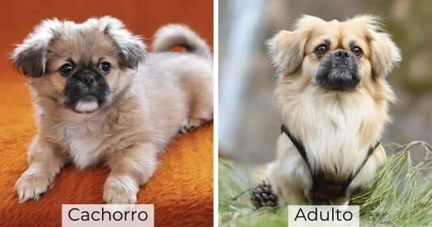 Pekinés cachorro y adulto