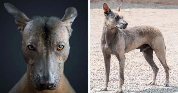 Perro Sin Pelo Del Perú