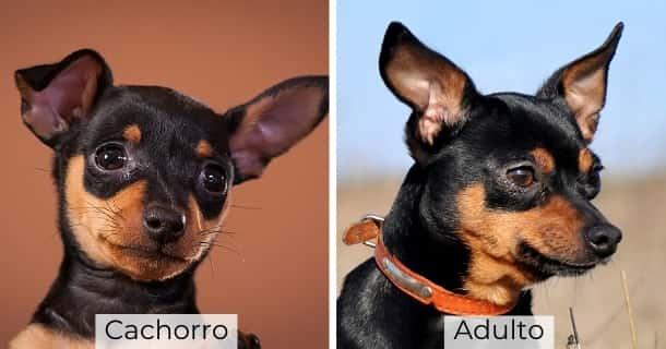 Pinscher Miniatura cachorro y adulto