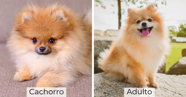 Pomerania cachorro y adulto