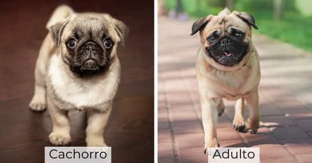 Pug cachorro y adulto