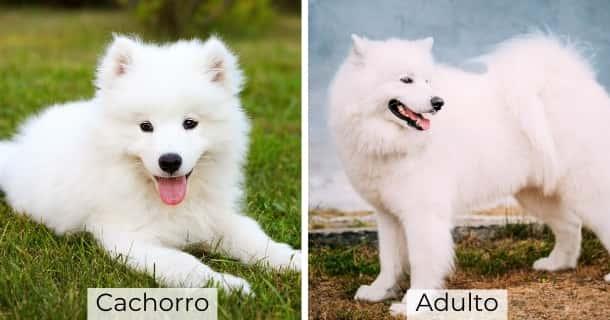 Samoyedo cachorro y adulto