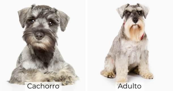Schnauzer Miniatura cachorro y adulto
