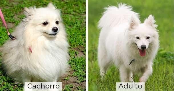 Spitz Japonés cachorro y adulto