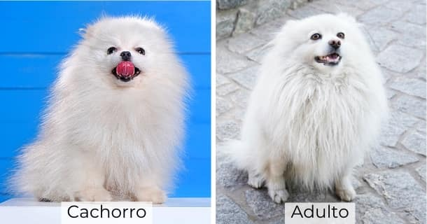 Volpino Italiano cachorro y adulto