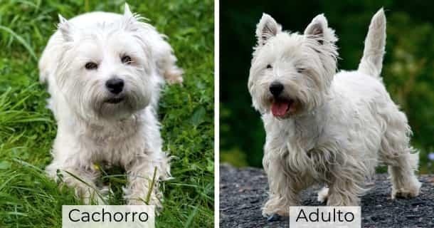 West Highland White Terrier cachorro y adulto