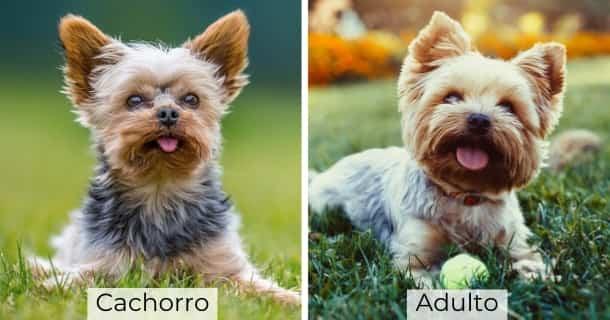 Yorkshire Terrier cachorro y adulto
