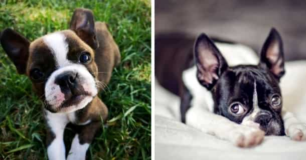 Boston Terrier Cachorro