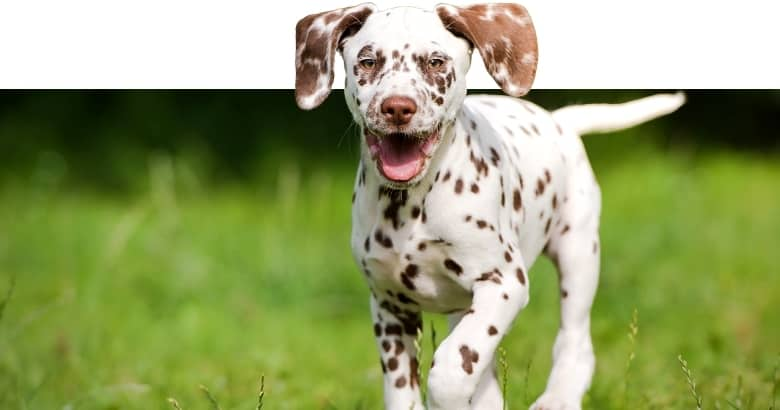 Cachorro Loco
