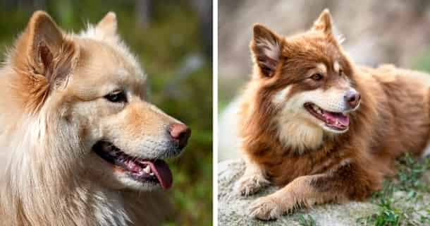 Lapphund Finlandés