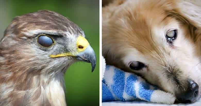 Membrana Nictitante En Perros y Aves