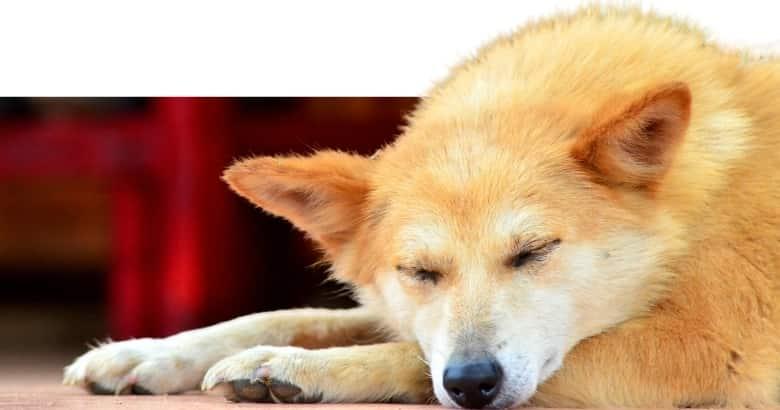 Perro Acostado (2)