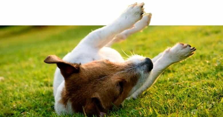 Perro Con Calambre