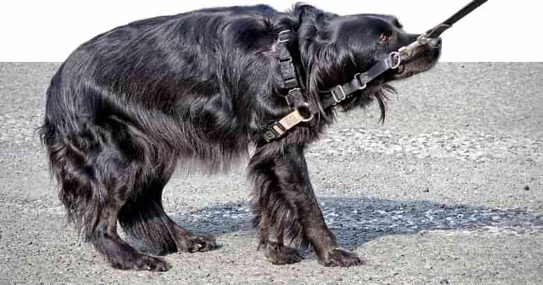Perro Con Cola Entre Las Patas (2)
