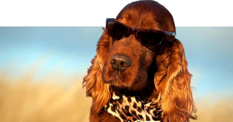 Perro Con Gafas De Sol