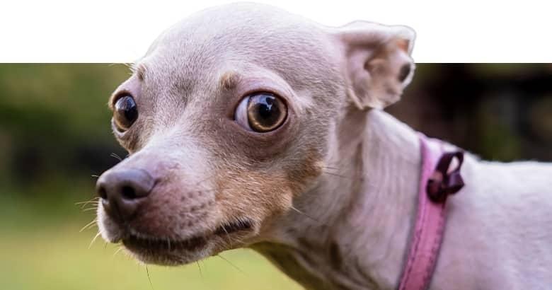 Perro Con Orejas Hacia Atrás