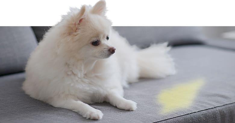 Perro Con Pis En El Sofá (2)