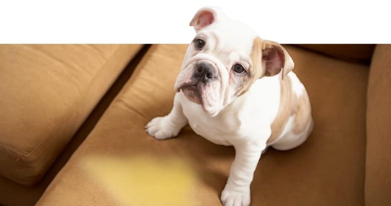 Perro Con Pis En El Sofá