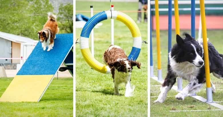 Perro competencia con obstaculos de colores