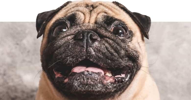 Perro estornudo