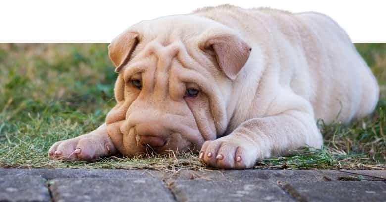 Perro gimiendo