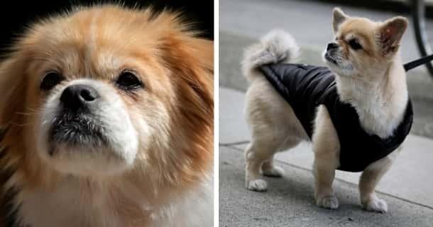 Spaniel Tibetano Cachorro